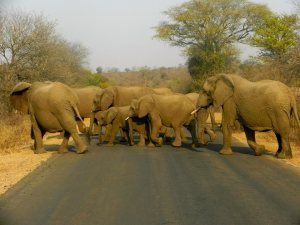Elephants crossing the road in Kruger National Park
